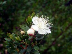 myrtle bloom