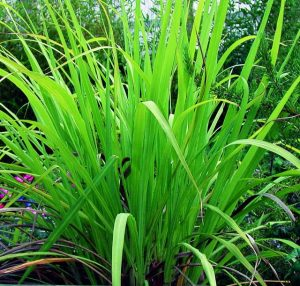 palmarosa-grass